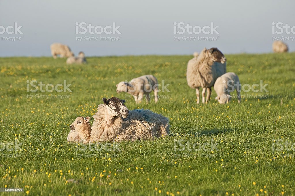 Spring lamds and sheep in rural landscape at sunrise royalty-free stock photo