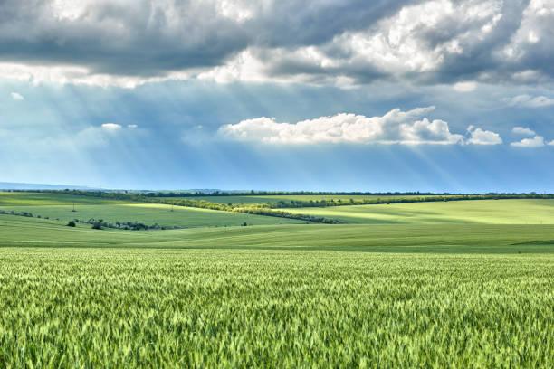 Frühlingslandschaft-landwirtschaftliches Feld mit jungen Weizenohren, grünen Pflanzen und schönem Himmel – Foto