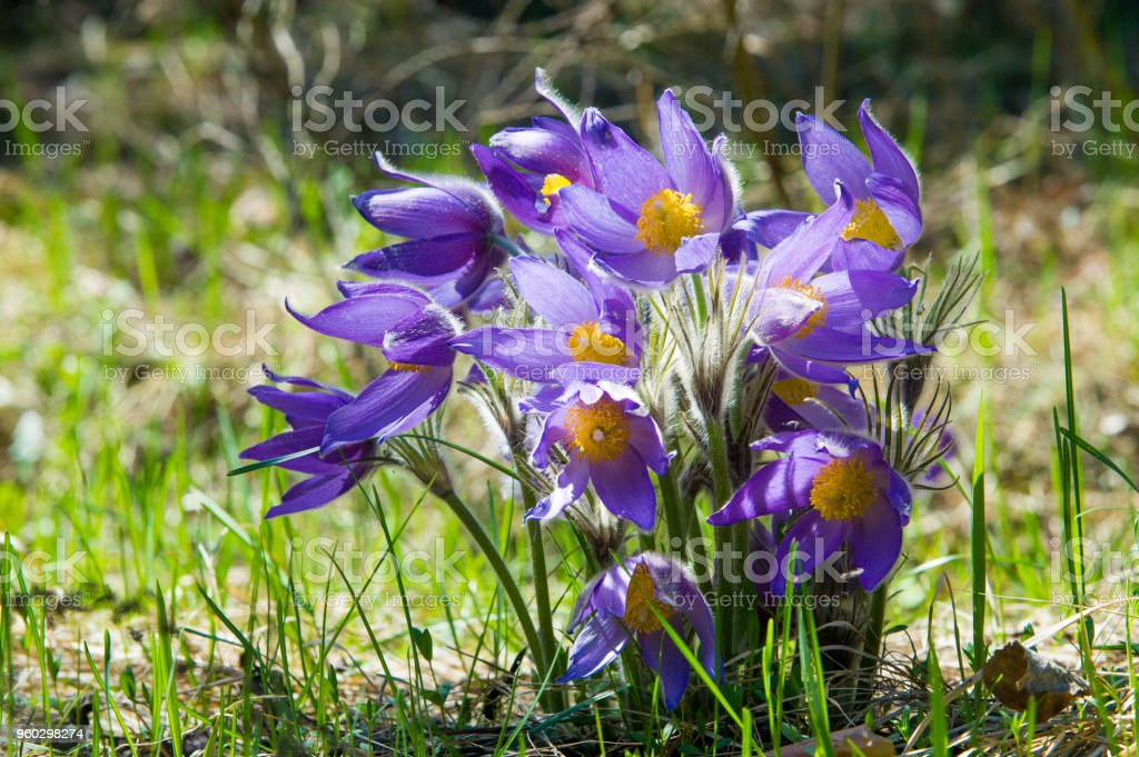 Spring landscape. Flowers growing in the wild. Spring flower Pulsatilla. Common names include pasque flower or pasqueflower, wind flower, prairie crocus, Easter flower, and meadow anemone. stock photo