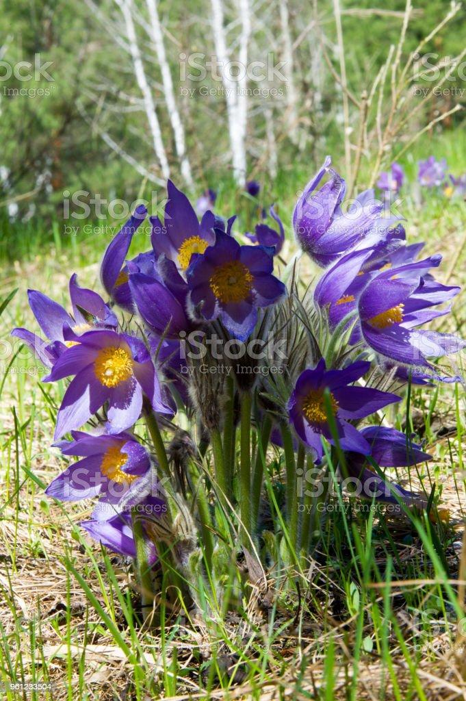 Spring landscape flowers growing in the wild spring flower spring landscape flowers growing in the wild spring flower pulsatilla common names include mightylinksfo