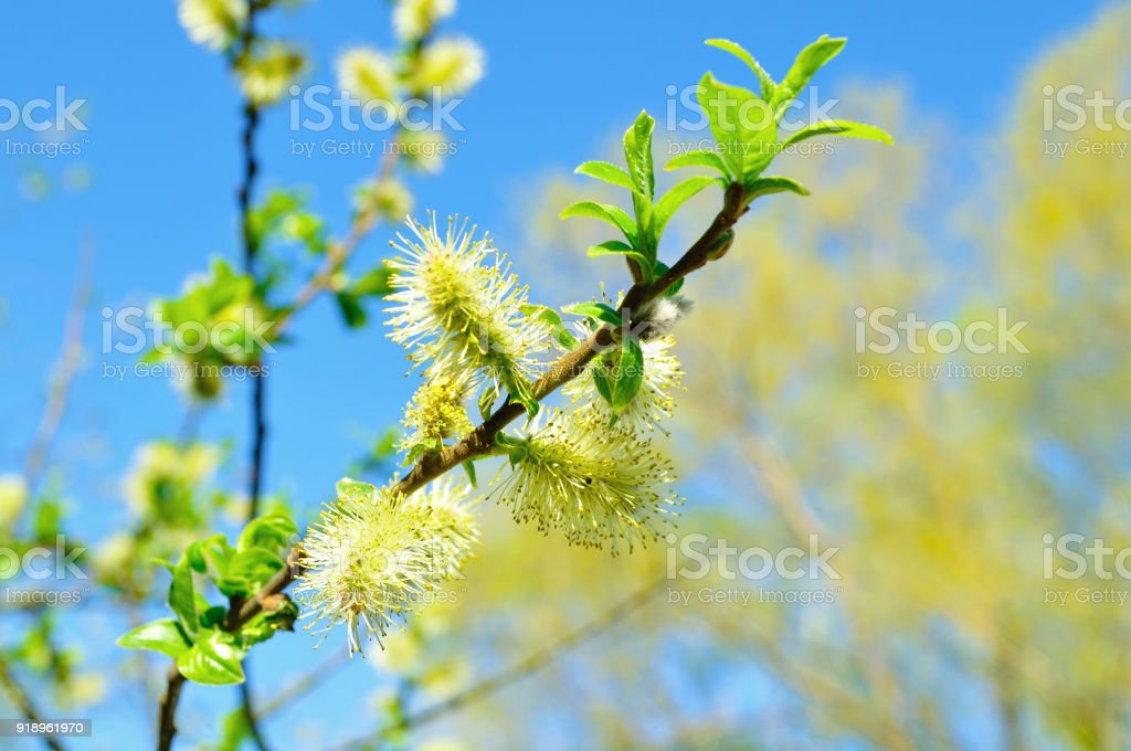 Spring landscape - fluffy buds of willow against blue sky stock photo