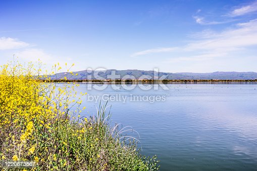 Spring landscape in the wetlands of South San Francisco Bay Area, with wild mustard flowers blooming on the shoreline, and waterfowl swimming on the calm waters of a pond; Sunnyvale, California