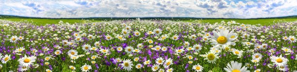 spring landscape panorama with flowering flowers on meadow spring landscape panorama with flowering flowers on meadow. white chamomile and purple bluebells blossom on field. panoramic summer view of blooming wild flowers in meadow wildflower stock pictures, royalty-free photos & images