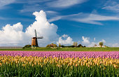 """""""Colorful tulips in a typical Dutch landscape. Composite of several different shots. The location is polder Berkmeer, Netherlands.Other tulip images:"""""""
