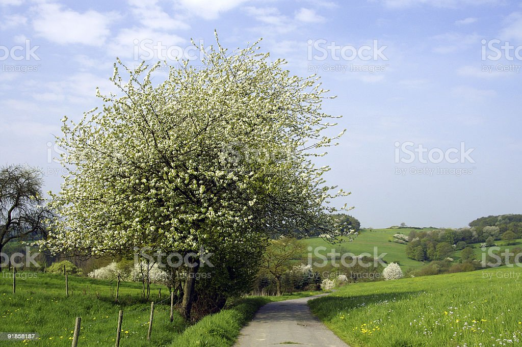 Spring landscape with a blossoming tree royalty-free stock photo