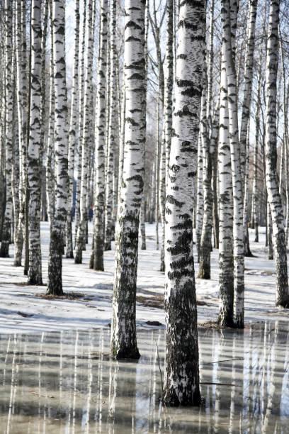 Frühlingslandschaft mit Birken und geschmolzenem Schnee – Foto