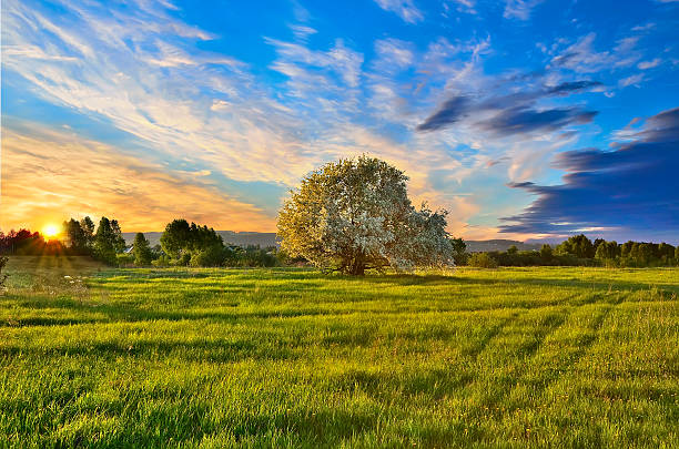 Spring landscape with blooming apple tree at sunset stock photo