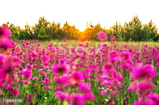 997750962 istock photo spring landscape with blooming purple flowers on meadow 1193044109
