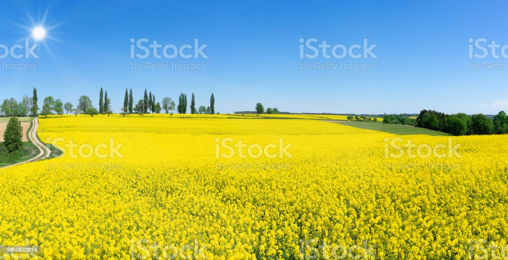 Spring landscape with blooming rapeseed royalty-free stock photo