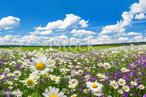 spring landscape with flowering flowers on meadow. white chamomile and purple bluebells blossom on field. summer view of blooming wild flowers in meadow