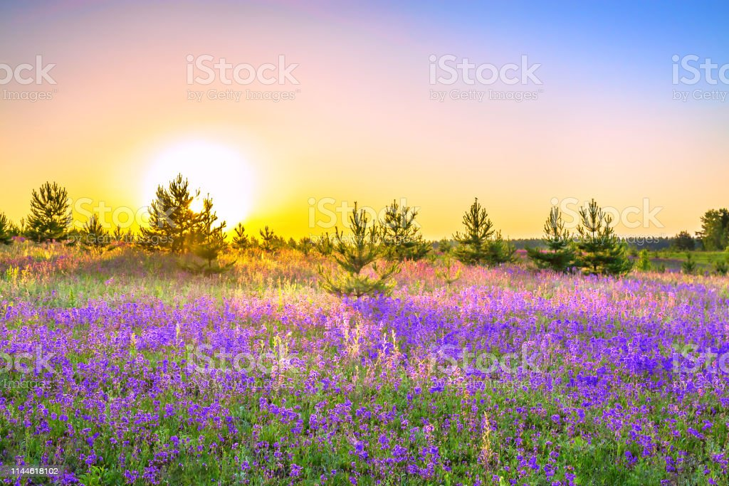 Spring Landscape With Flowering Purple Flowers On Meadow Stock