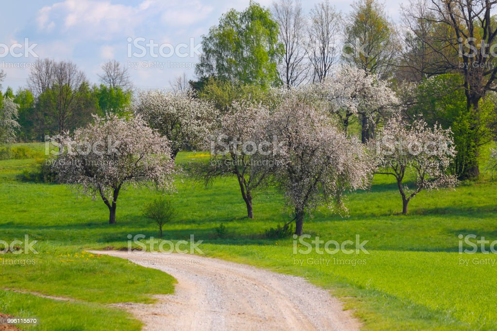 Spring landscape with flowering trees and dusty road stock photo
