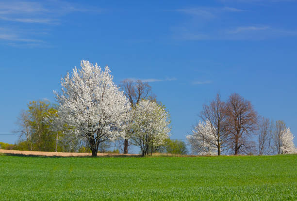 Spring landscape with white flowering trees and blue sky stock photo