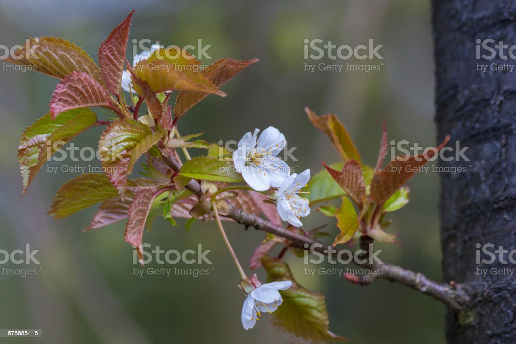Spring leaves as a background royalty-free stock photo