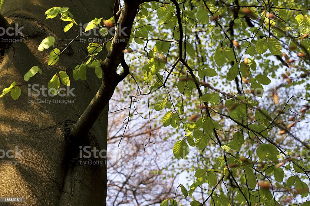 Spring Leaves in Forest royalty-free stock photo