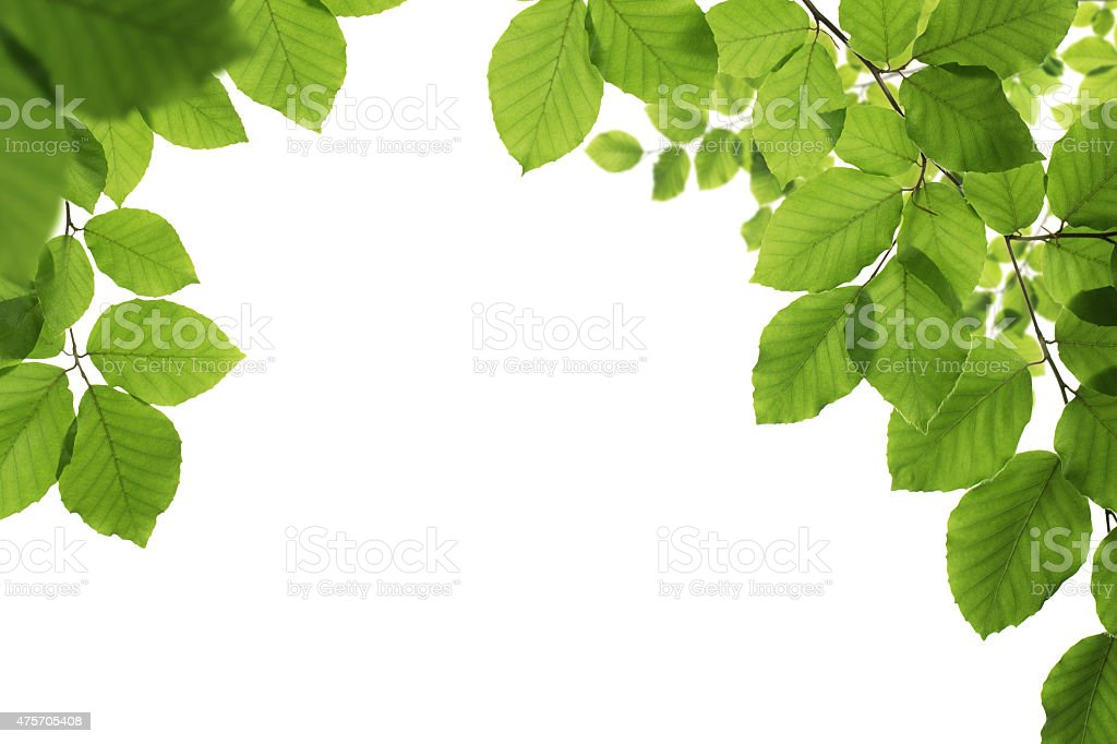 Spring leaves isolated on white stock photo