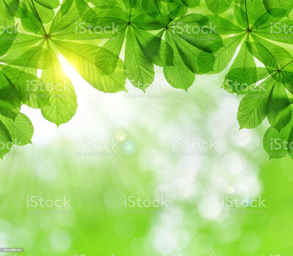 Spring leaves of chestnut tree stock photo
