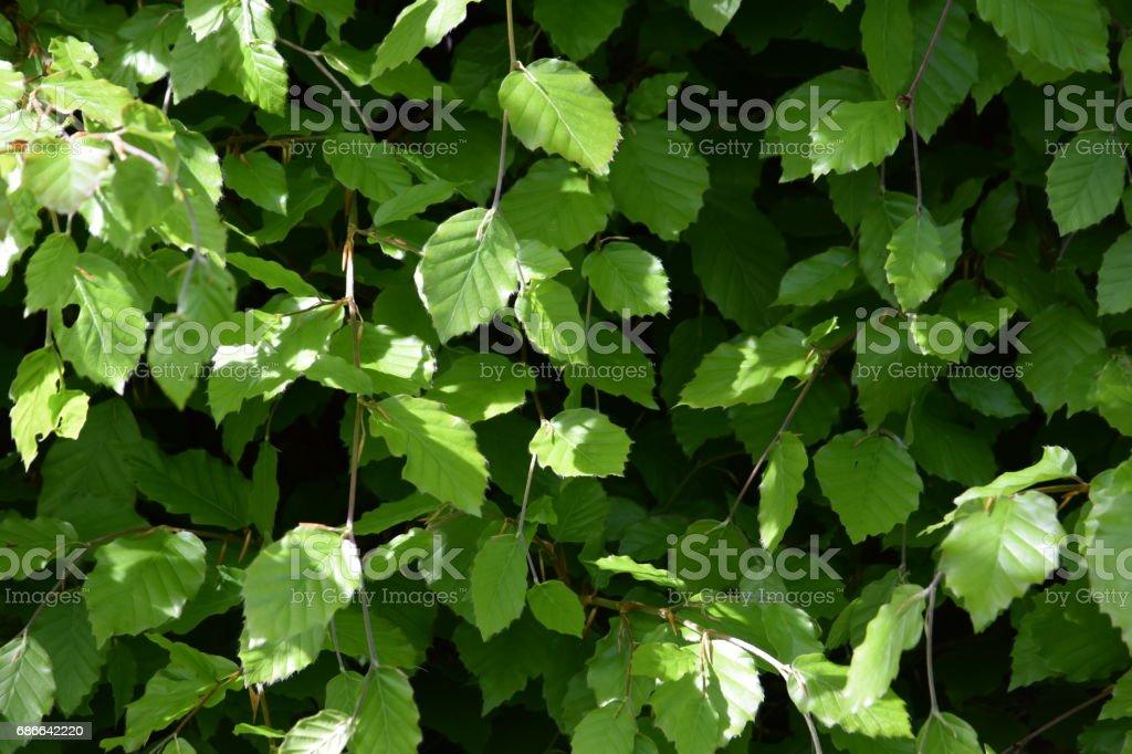Kayın yapraklarda bahar royalty-free stock photo