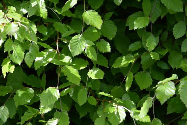 Folhas de primavera em faia - foto de acervo