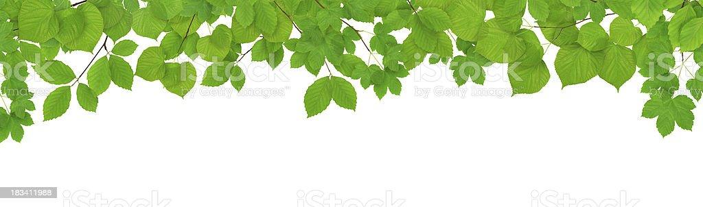Primavera hojas sobre fondo blanco - foto de stock