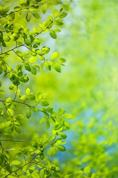 春の葉 - 木漏れ日 ストックフォトと画像