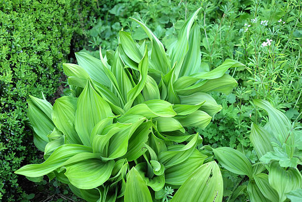 Spring Leaves The bright green leaves of Veratrum viride in Spring. corn lilly stock pictures, royalty-free photos & images