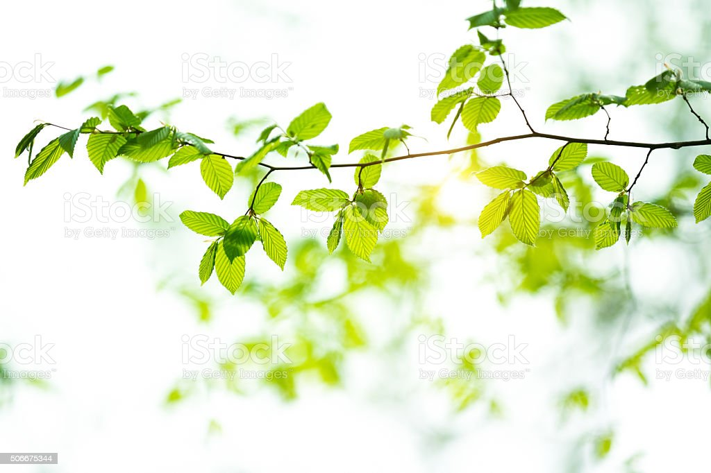 Spring Leaves stock photo
