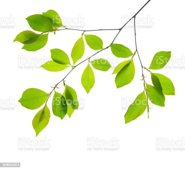 Spring leaves picture id928344524?b=1&k=6&m=928344524&s=612x612&h=q0 aqmwzrygsiocn sls2i4foqx3bmxxo282qabaxwy=