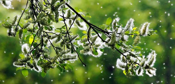frühling wie schnee - heuschnupfen stock-fotos und bilder