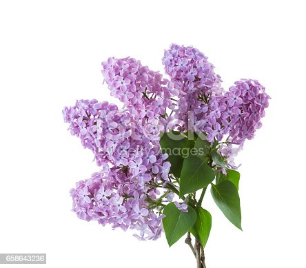 Spring lilac  branches with leaves isolated on white background.