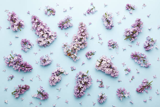 Spring lilac flowers on blue background. stock photo