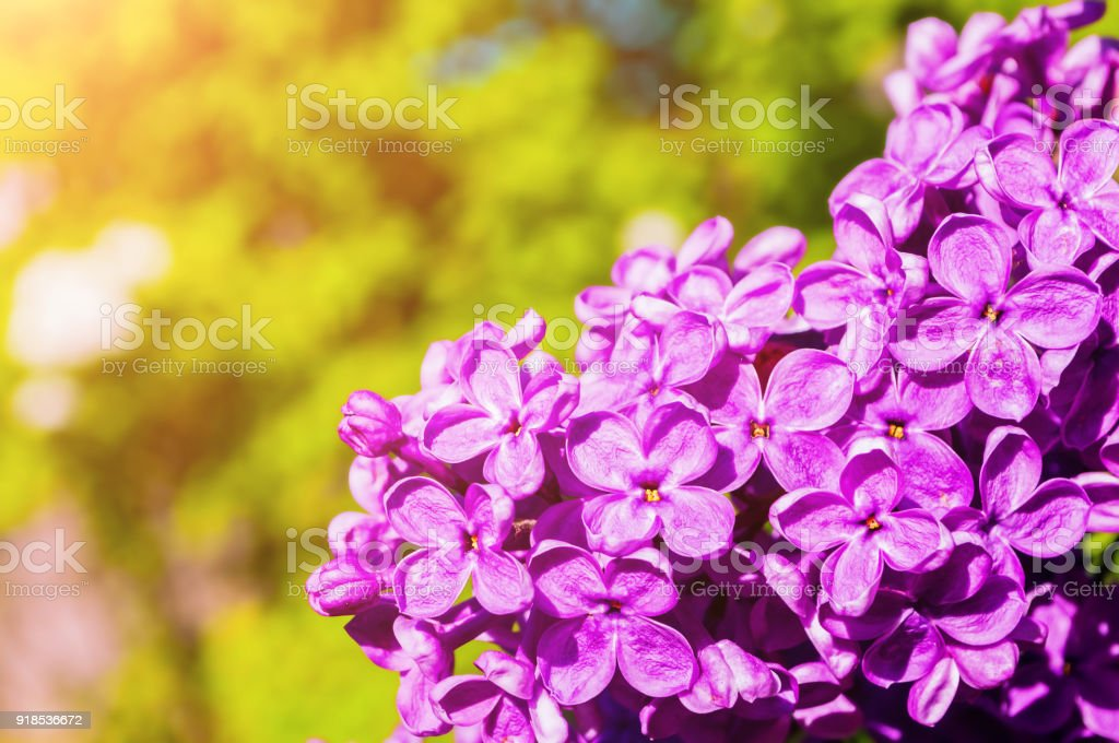 Spring Lilac Flowers Spring Flower Background Stock Photo More