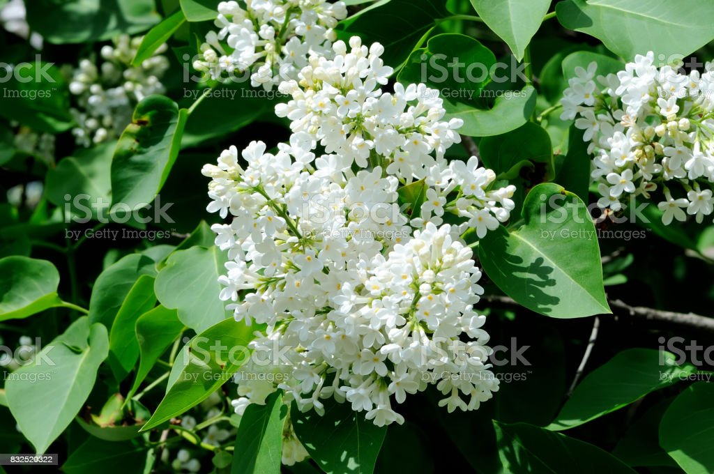 Spring lilac white flowers on floral background stock photo