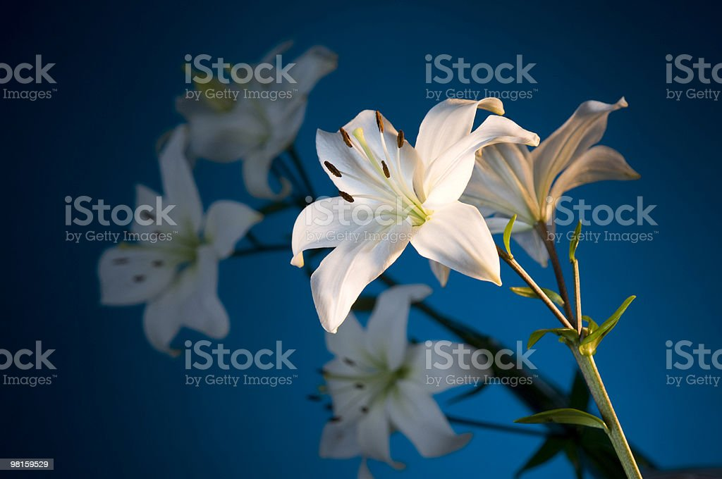 Spring Lily Flowers with soft focus lilies in background royalty-free stock photo