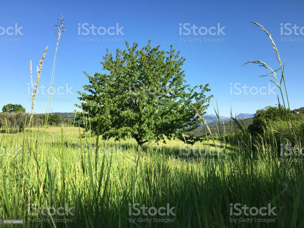 Spring. Lone tree in the field. royalty-free stock photo