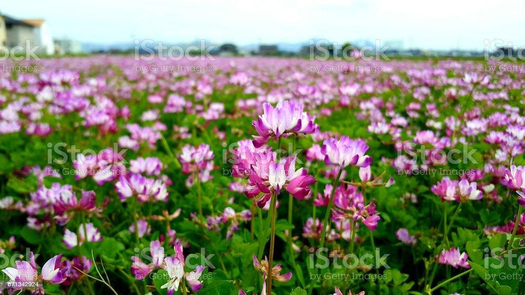 Spring lotus stock photo