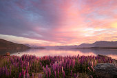 Lake Tekapo, on the South Island of New Zealand. A colorful sunrise matches the multiple colors of the lupines that grow wild around the lake in the spring (November/December in New Zealand). The distant mountains and sky are reflected in the still waters of the lake.\nNote: some fine noise is visible at 100%.
