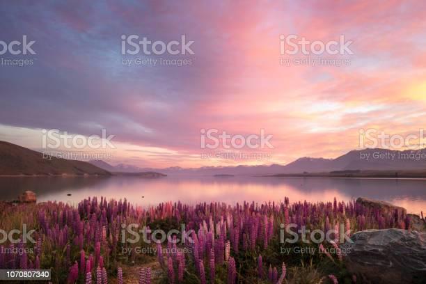 Photo of Spring lupines at sunrise. Lake Tekapo, New Zealand