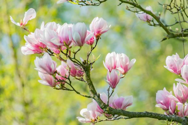 spring magnolia and blue sky - pączek etap rozwoju rośliny zdjęcia i obrazy z banku zdjęć