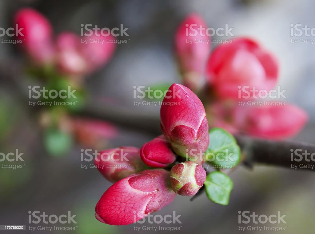 Spring magnolia buds royalty-free stock photo