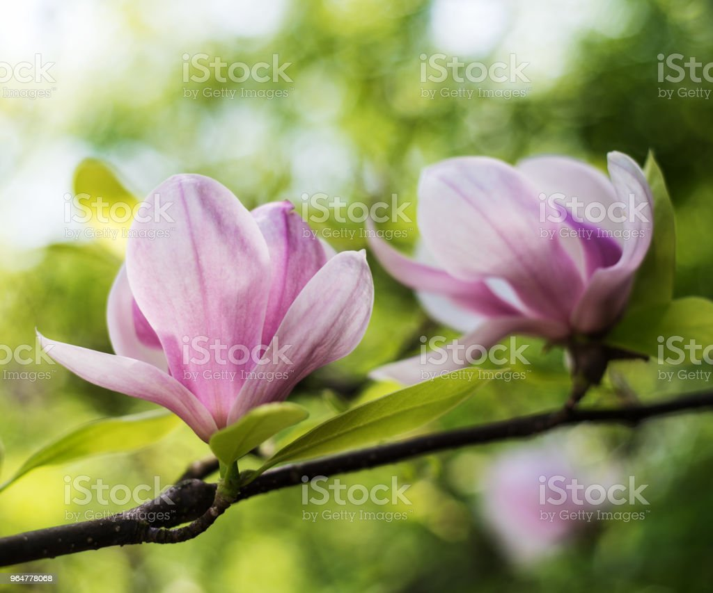 Spring magnolia flowers royalty-free stock photo
