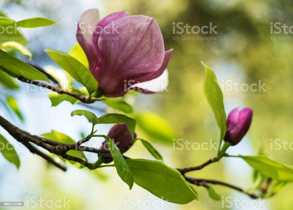 Spring magnolia flowers zbiór zdjęć royalty-free