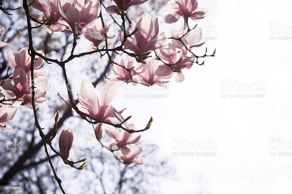 Spring magnolia in bloom stock photo