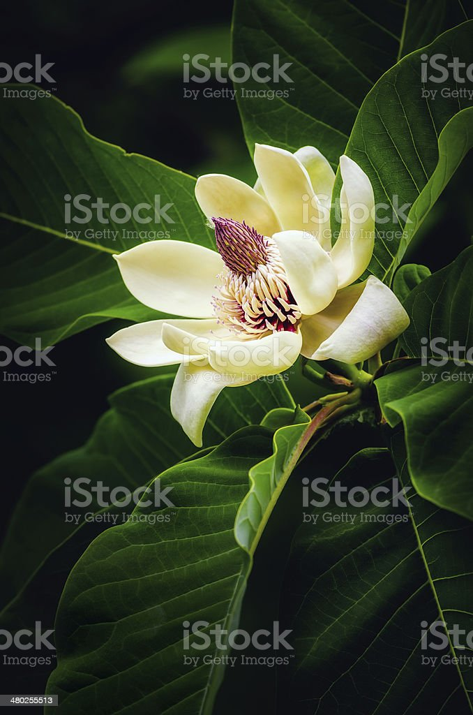 spring magnolia tree flower stock photo