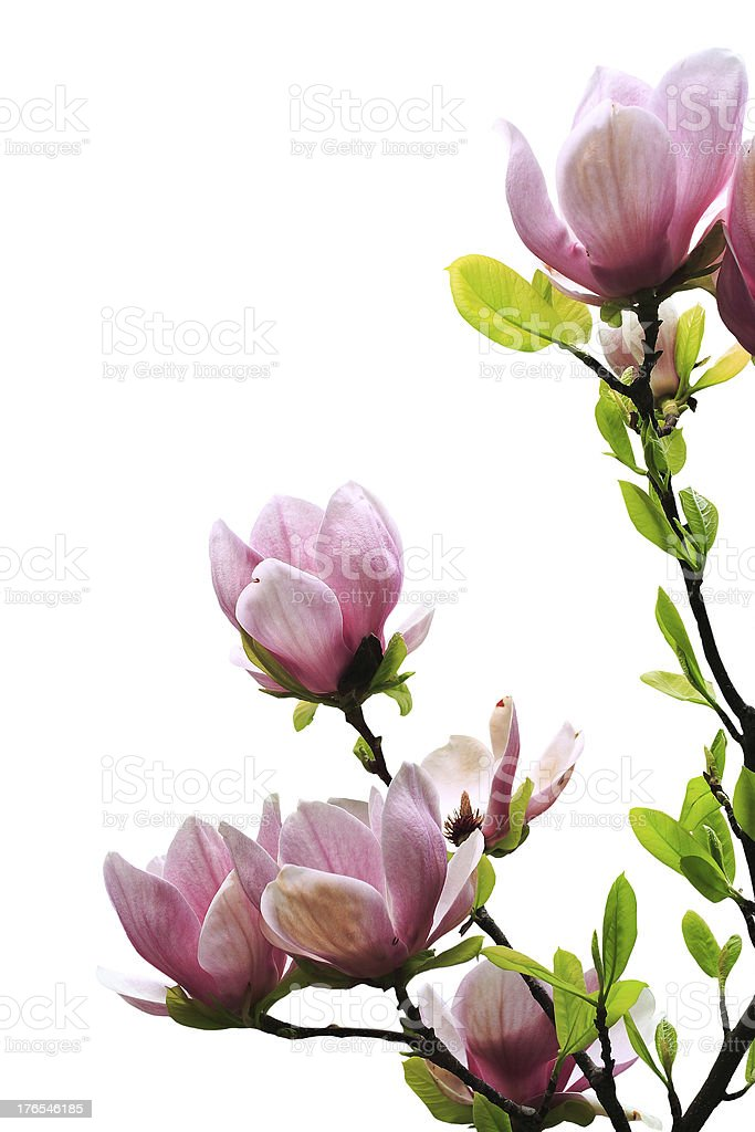 spring magnolia tree royalty-free stock photo
