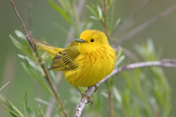 spring male yellow warbler - setophaga stockfoto's en -beelden