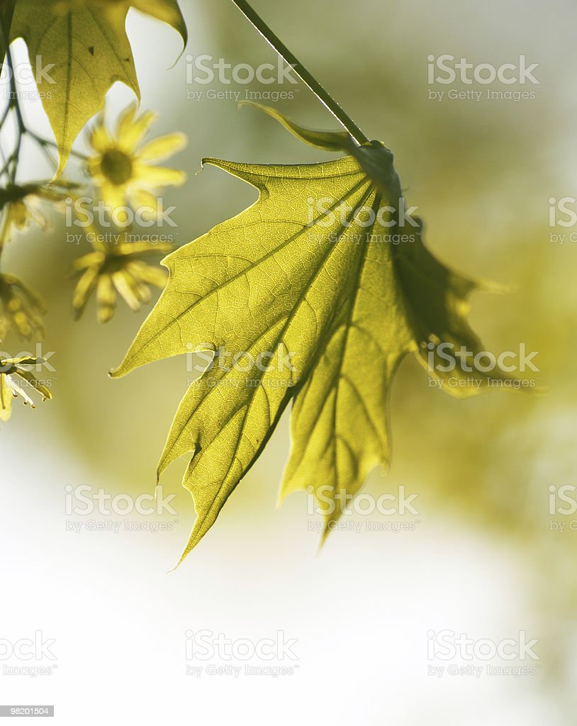 Spring maple leaf royalty-free stock photo