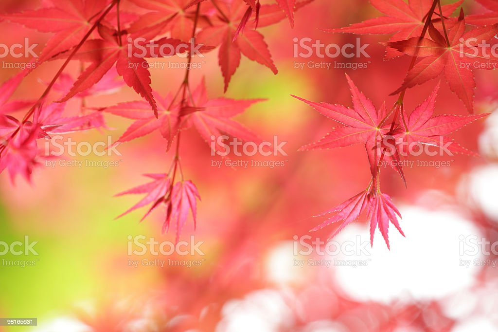 Spring  Maple Leaves royalty-free stock photo