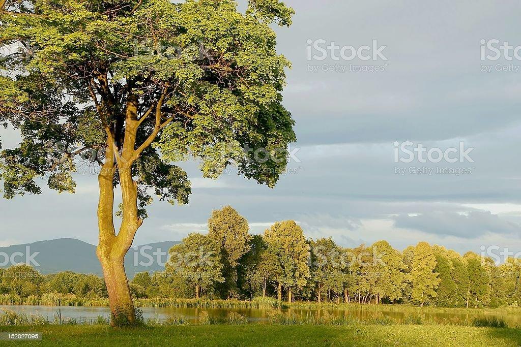 Spring maple tree at sunrise royalty-free stock photo