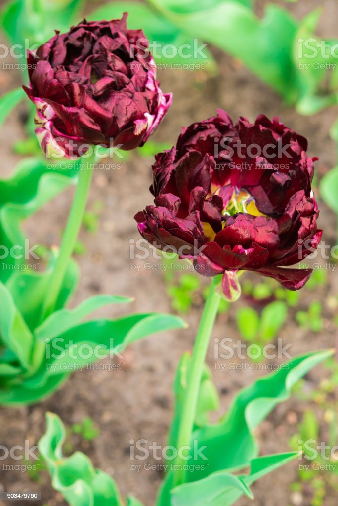 Spring maroon color flowers. Dark red tulips with curly petals. stock photo